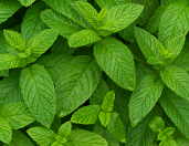 Fresh Mint Bunch
